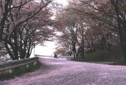 美の山ドライブ 桜道