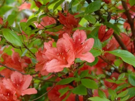 花と香りの森ヤマツツジ