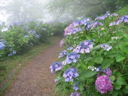 霧のアジサイ